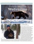 Studying the Elusive Wolverine, a Threatened Species in Northern Ontario