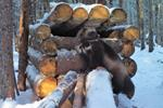 Unlikely allies work together to save wolverines