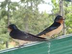 First evidence of double-brooding by a Yukon bird – the barn swallow