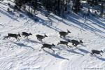 Caribou a key test of federal resolve to protect species at risk