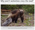 Why Won't Wolverines Cross the Road?