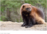Searching for Wolverines in a Vast Northern Wilderness
