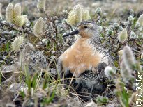 Red knot brooding
